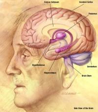 Teckning av hjärna